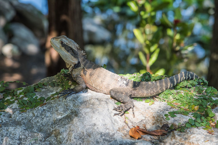 Australian water dragon isolated on rock in the shade in outdoor nature setting in Sydney, Australia. Animal Themes Animal Wildlife Animals In The Wild Australia Australian Water Dragon Claws HEAD Iguana Large Large Lizard Lizard Nature No People One Animal Outdoors Pattern Reptile Shade Spiked Striped Sunlight Sydney Tail Water Dragon Wildlife