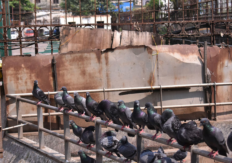 View of pigeons on wall