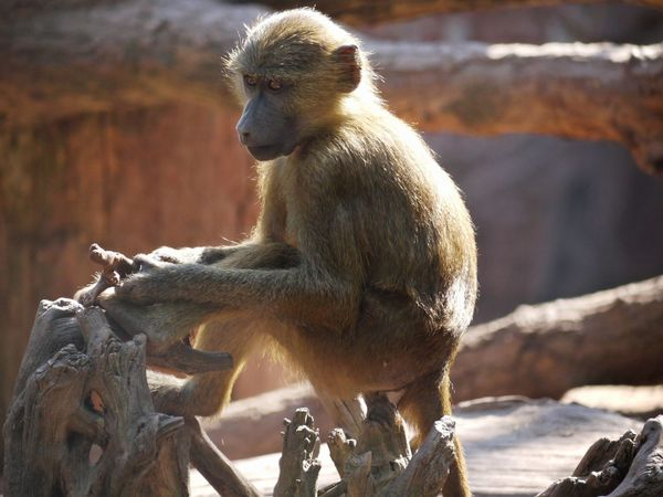 Paviane - Baboon Affe Alertness Animal Hair Animal Themes Animals In The Wild Baboon Beauty In Nature Day Focus On Foreground Monkey Nature Nature Non-urban Scene One Animal Paviane Rock Tranquility Wildlife Zoology