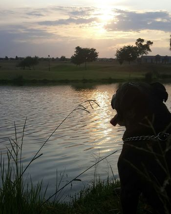 Green South Africa Staffie Black And White Dog Animal Animal Photography Nature Nature Photography Beautiful Outdoors No Filter Sunset Silhouettes Clouds