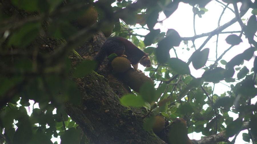 Feeding  Giant Squirrel Rainforest Ratufa Indica Sky Sunlight Tree Tree Trunk Wild Jack Fruit