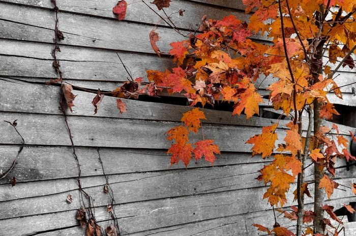 Aging Process Autumn Change Close-up Day Deterioration Fallen Fragility Leaf Leaves Maple Leaf Messy Nature No People Orange Color Outdoors Red Run-down Season  Twig Wood - Material