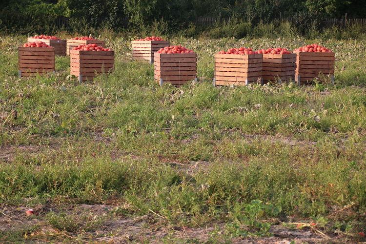 Pumpkin Harvest Pumpkin Field Pumpkin In A Box Field Pumpkin Nature Growth Day Outdoors No People Crafted Beauty