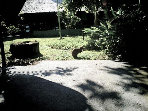 Capibara Manaus Manaus, Amazonas, Brazil Parque Do Mindu Urban Capibara