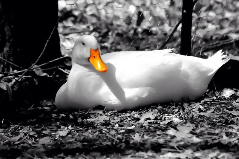 Duck Animals