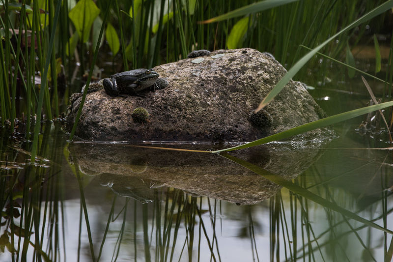 Water One Animal Animals In The Wild Rock Reflections Frog Grass Animal Nature Animal Wildlife Plant Lake Underwater Reflection Green Color Blade Of Grass