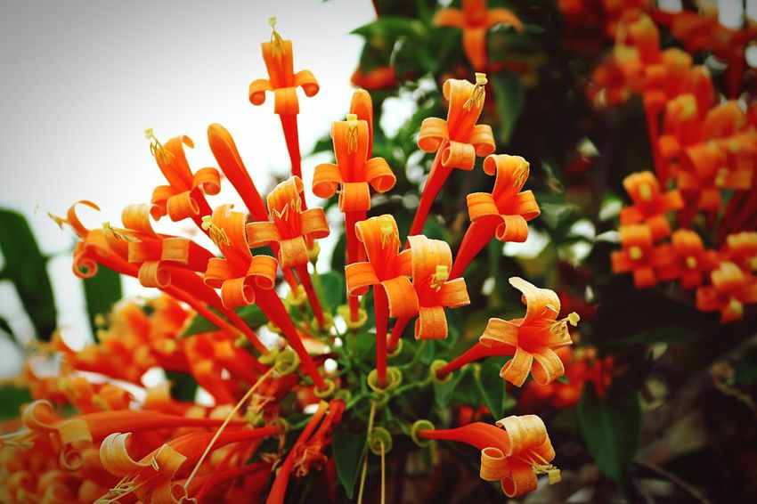 Orang trumpet flower Orange Flower Orange Color Orange Trumpet Flowers Pyrostegia Venusta flower Flowers Flowers, Nature And Beauty Fresh Broomfield Nature Nature Photography Flower Flower Photography Flowers,Plants & Garden Flower Collection