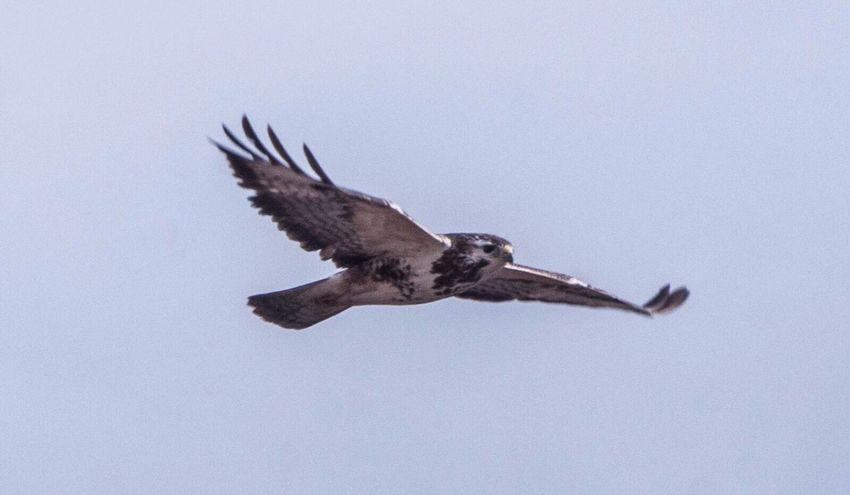 Bird Flying One Animal Spread Wings Buzzard  Buzzards Buizerd Vogel Vogels Roofvogel Birds Bigbird Bird Photography Birds🐦⛅