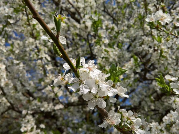 Beauty In Nature Blooming Blossom Branch Cherry Blossoms City City Life Close-up Flower Focus On Foreground Fragility Freshness Growth Leaf Nature Plant Selective Focus Spring Spring Flowers Springtime Tree Urban Spring Fever White Cherry Blossom White Color The Great Outdoors With Adobe