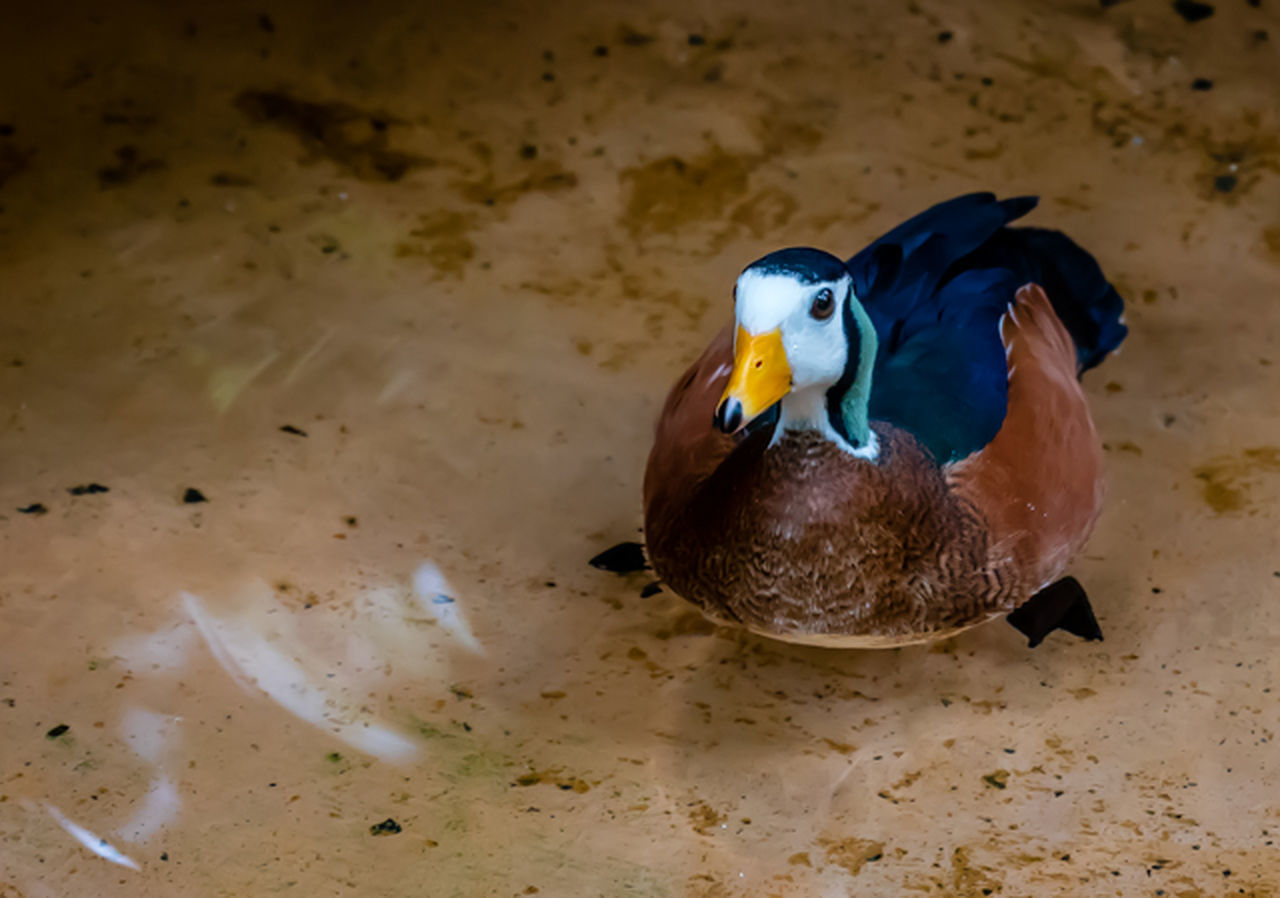animal themes, animals in the wild, one animal, animal wildlife, no people, bird, duck, mandarin duck, close-up, swimming, nature, water, beauty in nature, day, outdoors