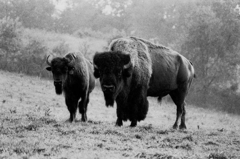 Bison II Black
