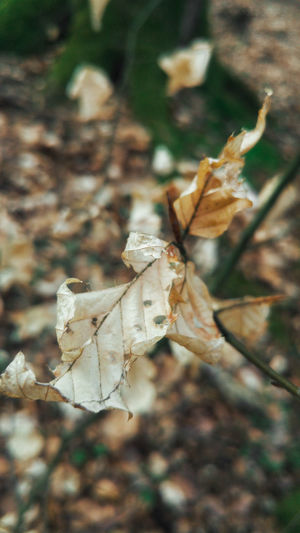 Leaf Change Nature Dry Close-up Beauty In Nature No People Outdoors Leaves Fragility Day Tree Puszcza Wkrzańska Szczecin