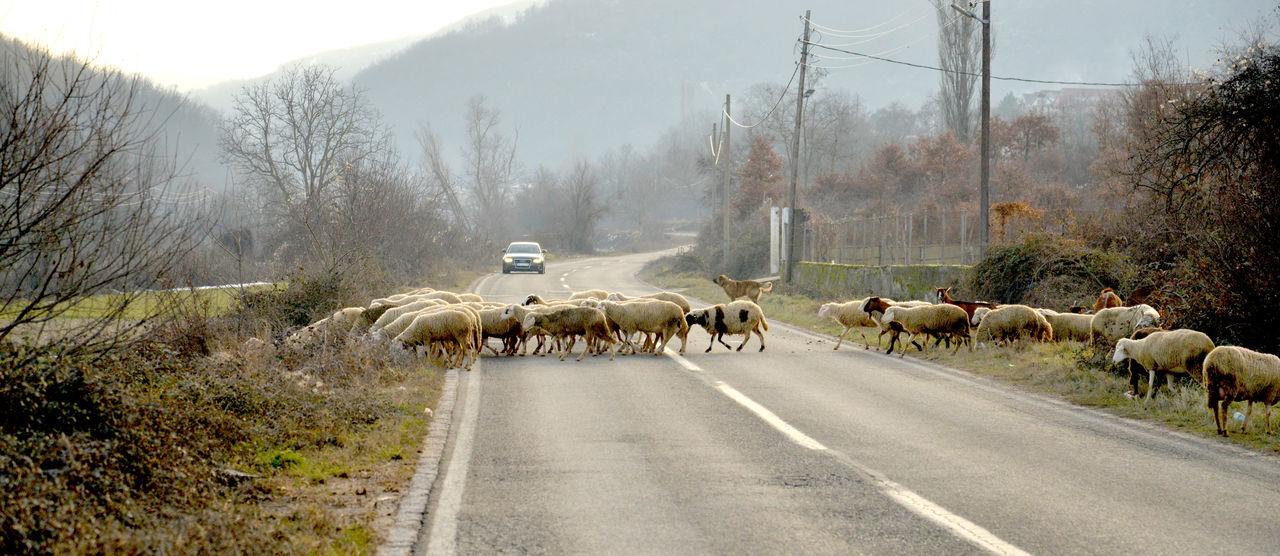 sheep Livestock Macedonia Road Domestic Animals Sheep Farm Sheeps Shepherd