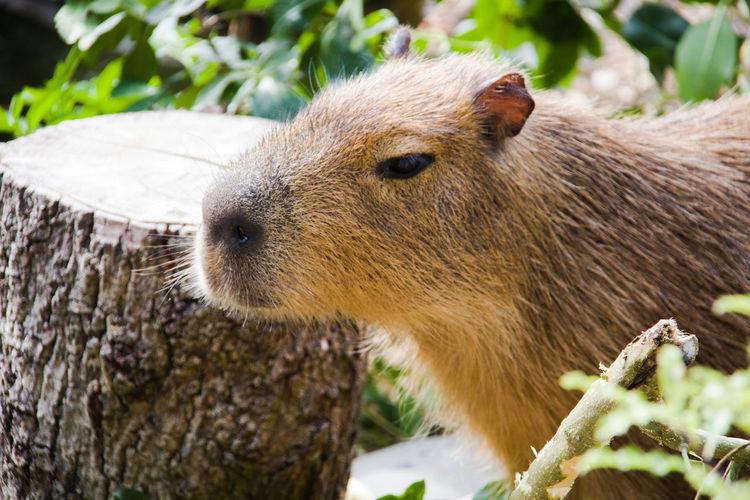 Close-up of a capybara