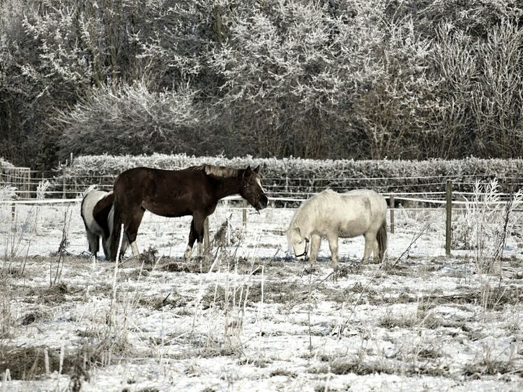 Nature Landscape Winter Winter Wonderland White Pony Animals In Winter