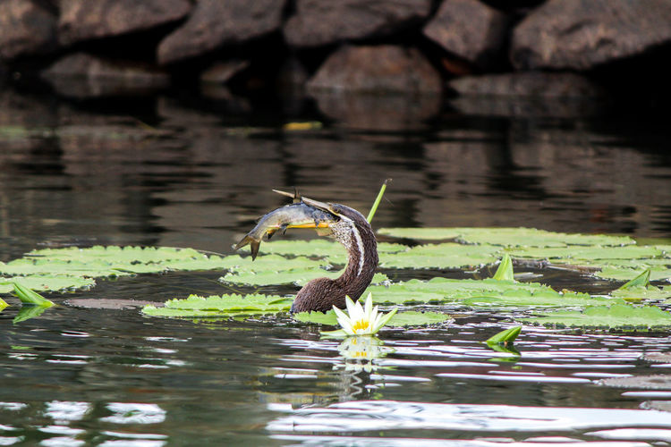 Oriental darter with big hunt. Water Lake Animals In The Wild Animal Wildlife Waterfront Reflection Nature Bird Swimming Darter Oriental Darter With Prey Fishing Hunt
