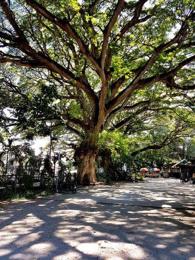 Bacong Negros Acacia Tree