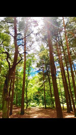 Trees Royden Park Tall Trees Sunlight Nature Beauty In Nature Outdoors Wirral Family Walks EyeEm Nature Lover