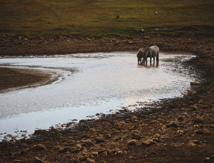 View of horse drinking water from beach
