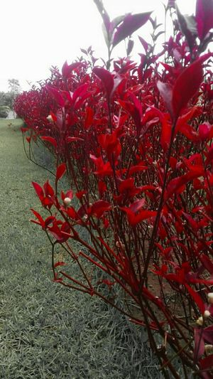 Red Growth Nature Beauty In Nature Freshness Tree Day Outdoors No People Close-up Sky Rowanberry