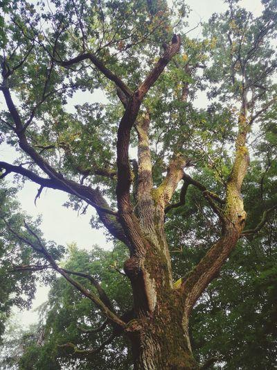 Oak Oak Tree