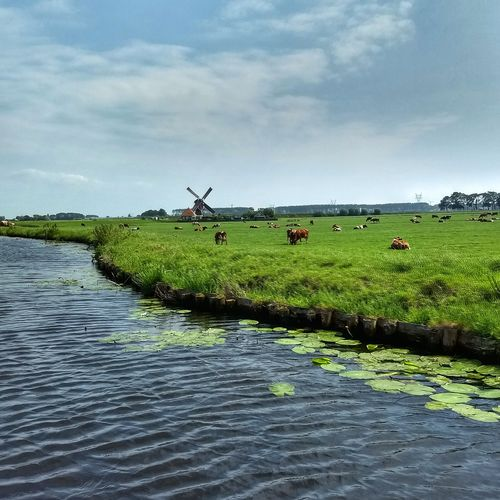 typical Dutch view #cows #cow Canals And Waterways Grassland Water Agriculture Field Sky Cloud - Sky Grass Landscape Traditional Windmill Windmill