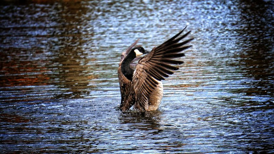 Canada goose in river