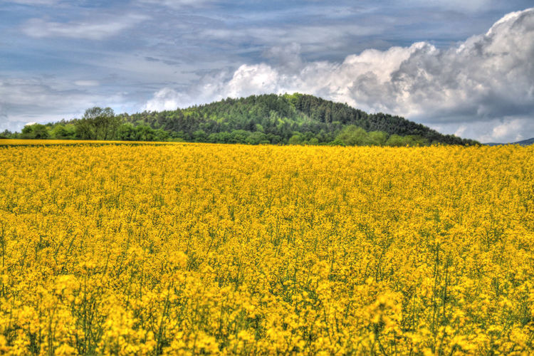 Abundance Agriculture Beauty In Nature Cloud - Sky Crop  Cultivated Land Field Flower Freshness Growth HDR Hdr_Collection Landscape Landscape_Collection Landscape_photography Landscapes With WhiteWall Nature Oilseed Rape Rural Scene Scenics Sky Tranquil Scene Tranquility Yellow EyeEm Nature Lover