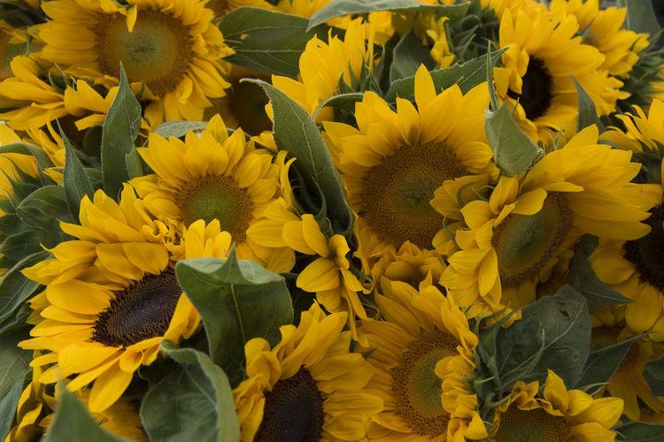 Full frame of sunflower