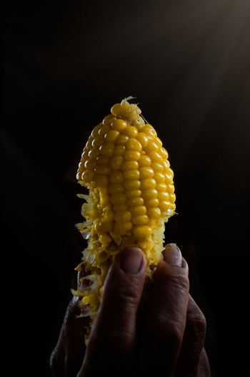 Close-up of hand holding boiled corn against black background