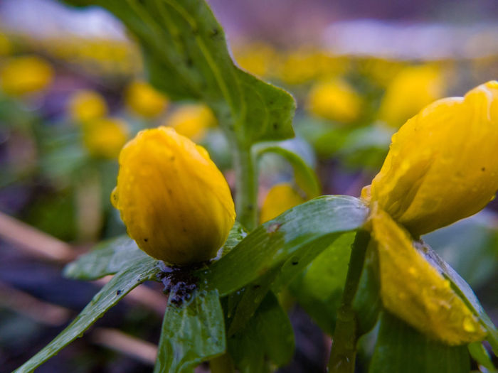 Eranthis - Taken with samsung galaxy s8, and a macro clip on lens Birkerød Eranthis Signofspring Springsigns Spring Springflowers Springiscoming Flower Yellow Fragility Plant Flowerhead Nature Blossom Beauty Closeup Beautyinnature  Outdoors Growth Nopeople Freshness Denmark Stavnsbo Samsung Galaxy S8 Clip On Macro Lens Macro Macrphotography Phone Photography Mobile Photography