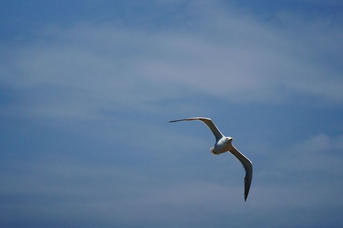 Bird Spread Wings Sea Life Sky Nature Flying Seagull Catching a thermal