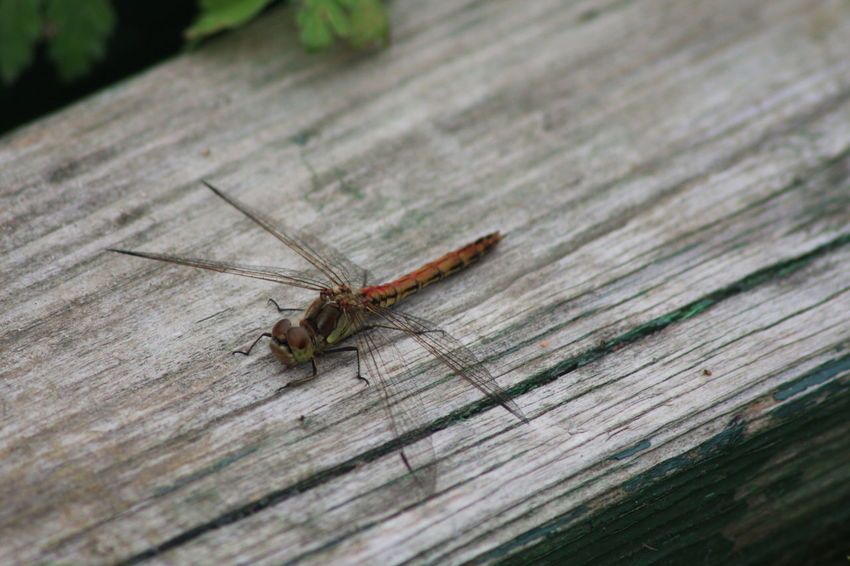 Close-up Day Dragonfly Insect Nature Nature Nature_collection No People Wildlife