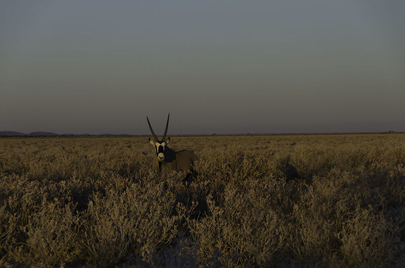 Portrait of gemsbok standing on field against sky