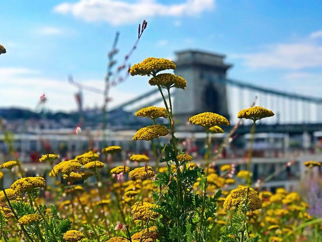 View at the bridge in Budapest. EyeEm Selects Flower Flowering Plant Plant Growth Nature Beauty In Nature Sky Cloud - Sky Freshness Fragility Day Close-up Outdoors Yellow No People Focus On Foreground Selective Focus