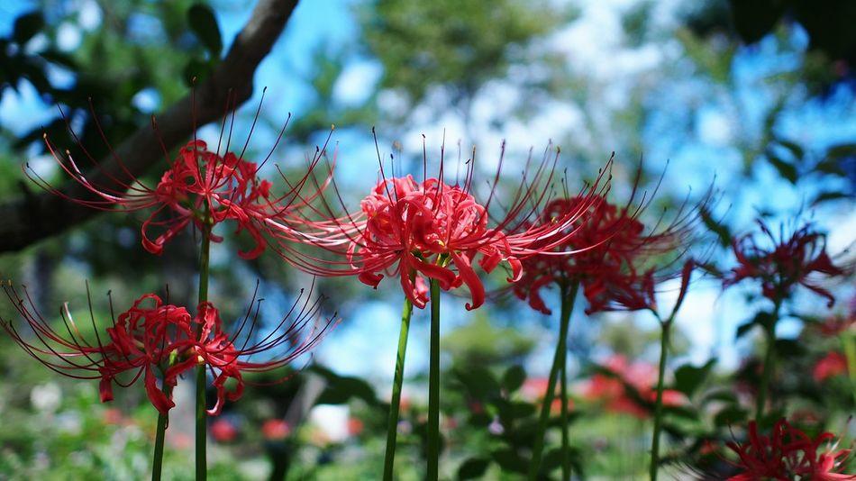 残暑の頃 Spiderlily Red Flowerporn M.zuiko Photowalk Streamzoofamily