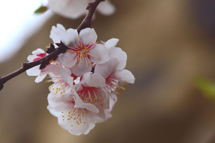 Apricot Blossoms Apple Blossom Flowering Plant Flower Freshness Plant Fragility Growth Vulnerability  Close-up Beauty In Nature Petal Flower Head Pollen Blossom Tree Branch Nature White Color Springtime