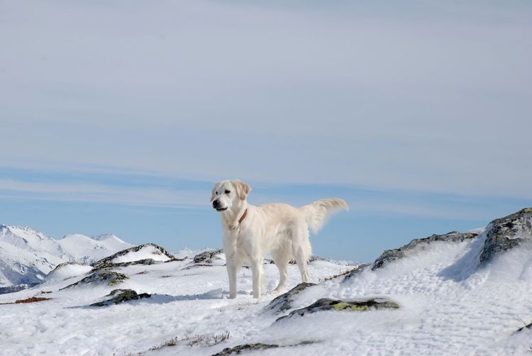 White dog on snow covered mountain against sky