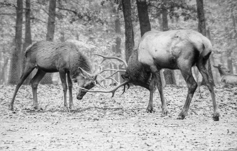 Elks fighting on field