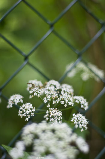 White flowers blooming by chainlink fence