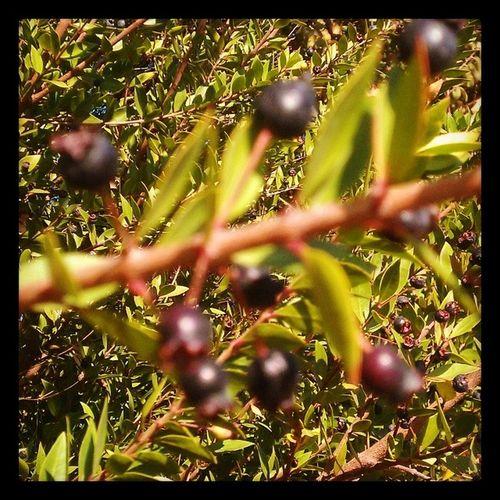 Blueberries Antalyaturkey Gebiz
