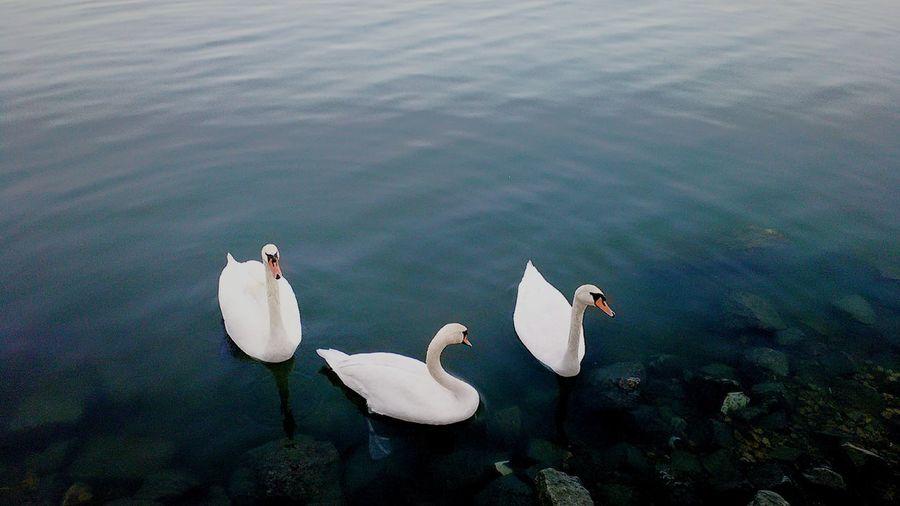 Swan River Riverside Riverview Riverside Photography Swans Swan River Swanriver Swans Swimming Danube Danube River Danube, Serbia