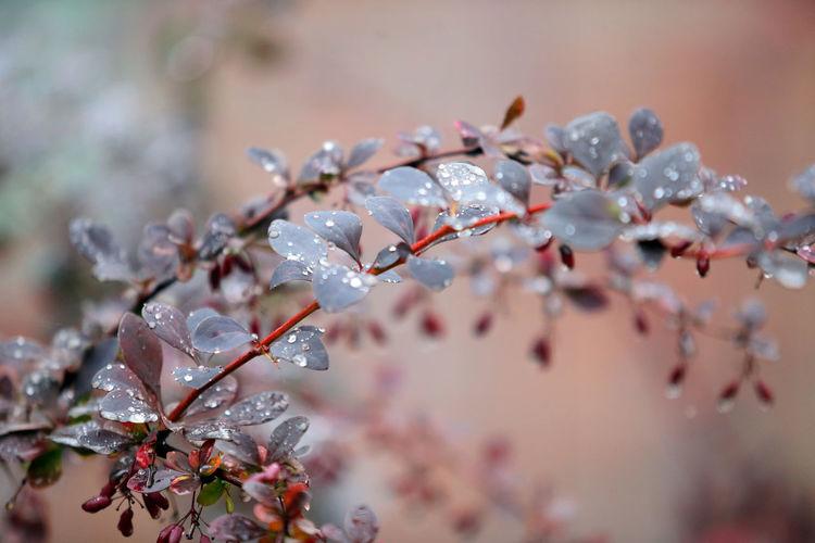 Close-up of raindrops on cherry tree