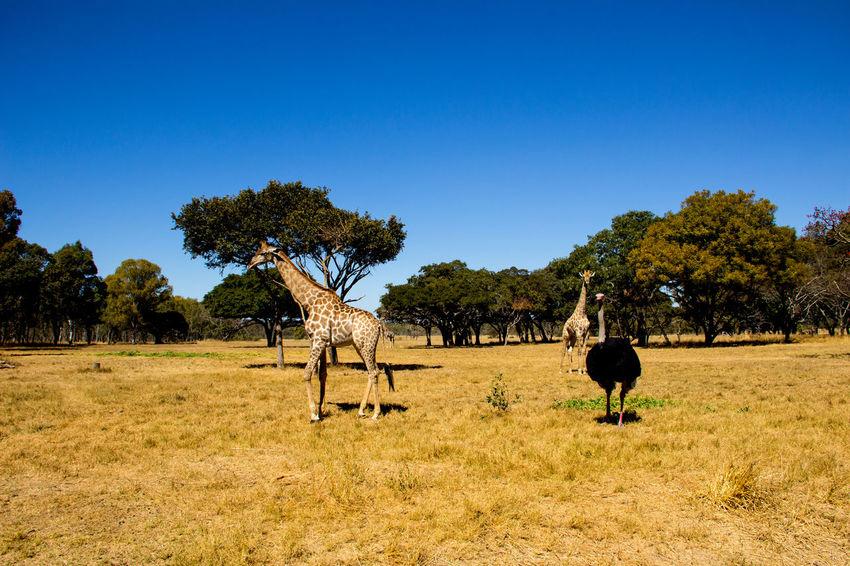 Africa African African Safari Animals Animals In The Wild Girrafe  Nature Ostrich Safari Safari Animals Safari Park Safaripark Wildlife Wildlife Photography