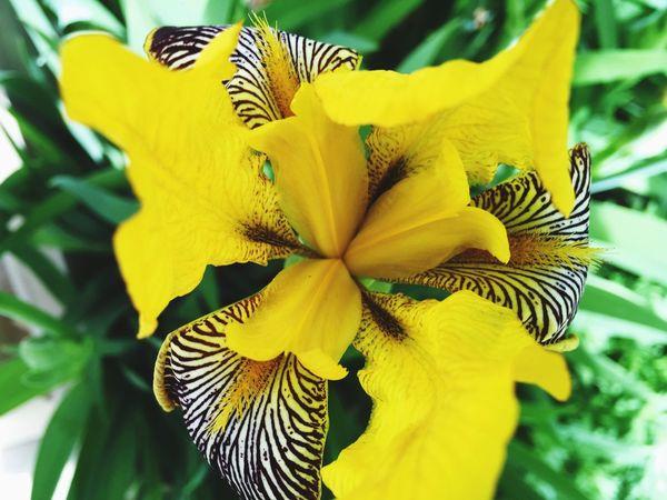 Iris Taking Photos Garden Wonders Flowers Backyard Garden Nature