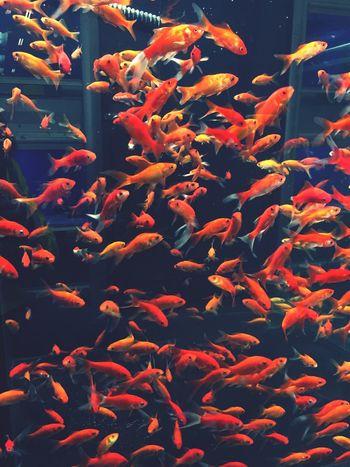 Goldfish Fisheye 🐠