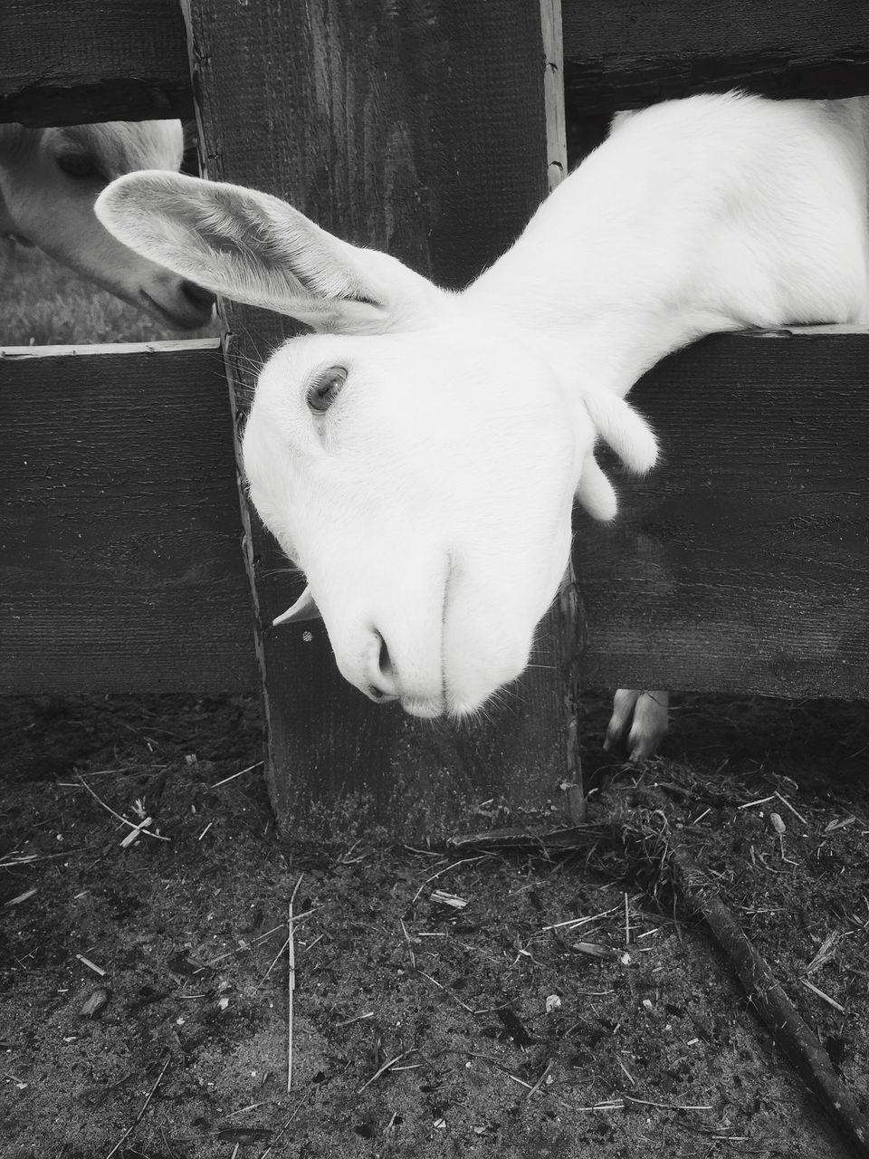 mammal, domestic, domestic animals, pets, one animal, vertebrate, no people, livestock, rabbit, close-up, high angle view, day, indoors, wood - material, rabbit - animal, animal body part, white color, herbivorous