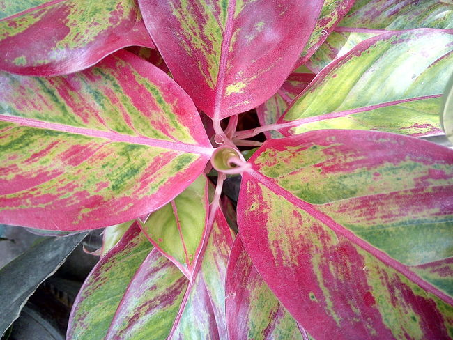 Leaf 🍂 Beauty In Nature Close-up Day Growth Leaf Leaf Photography Leaf Vein Nature No People Outdoors Pink Color Plant ใบ ใบไม้ ใบไม้สวย