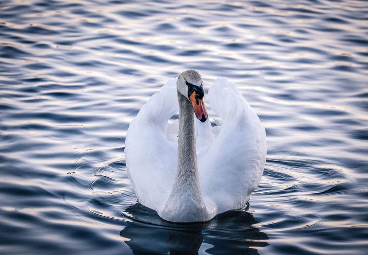 Swan swimming in calm scene