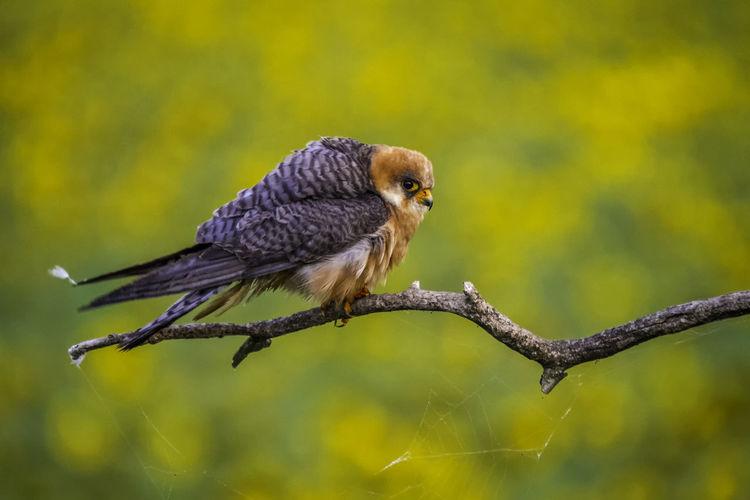 Animal Themes Animal Wildlife Animals In The Wild Bird EyeEm Nature Lover EyeEmNewHere Falcon Fresh On Eyeem  Outdoors Predator WeekOnEyeEm